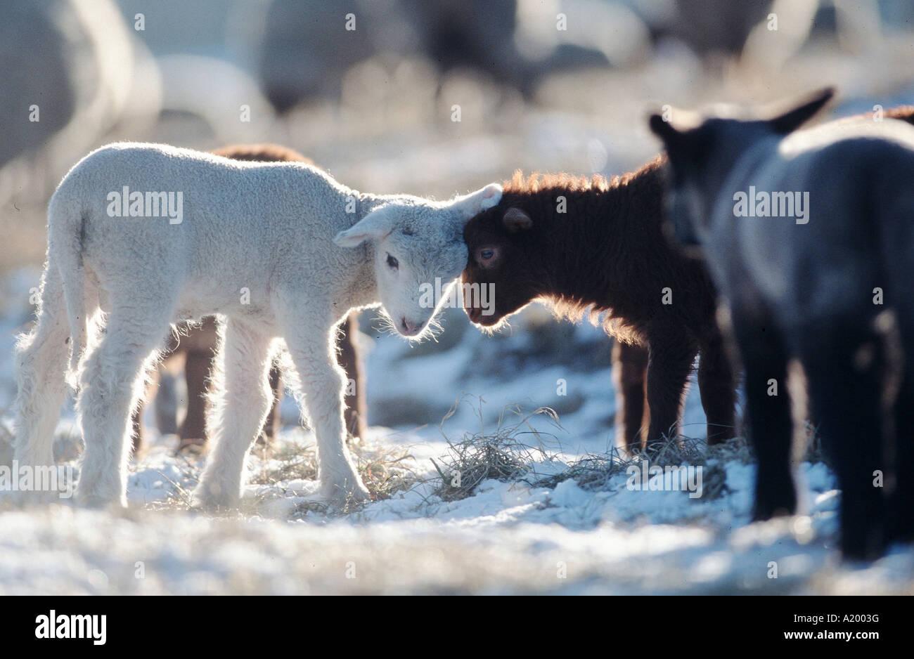 Fuchsschafe Mittelgebirgsrasse spielende Lämmchen - Stock Image