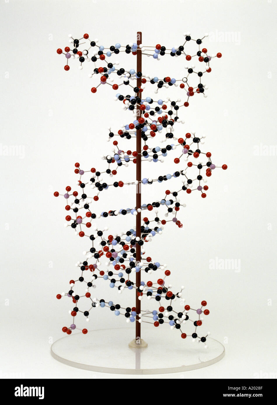 molecular model of DNA deoxyribonucleic acid vertical on stand - Stock Image