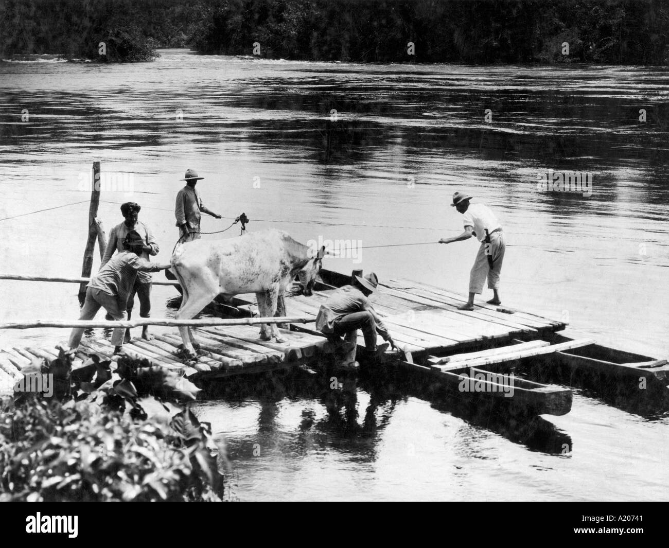 Cow being coaxed on to raft Para - Stock Image