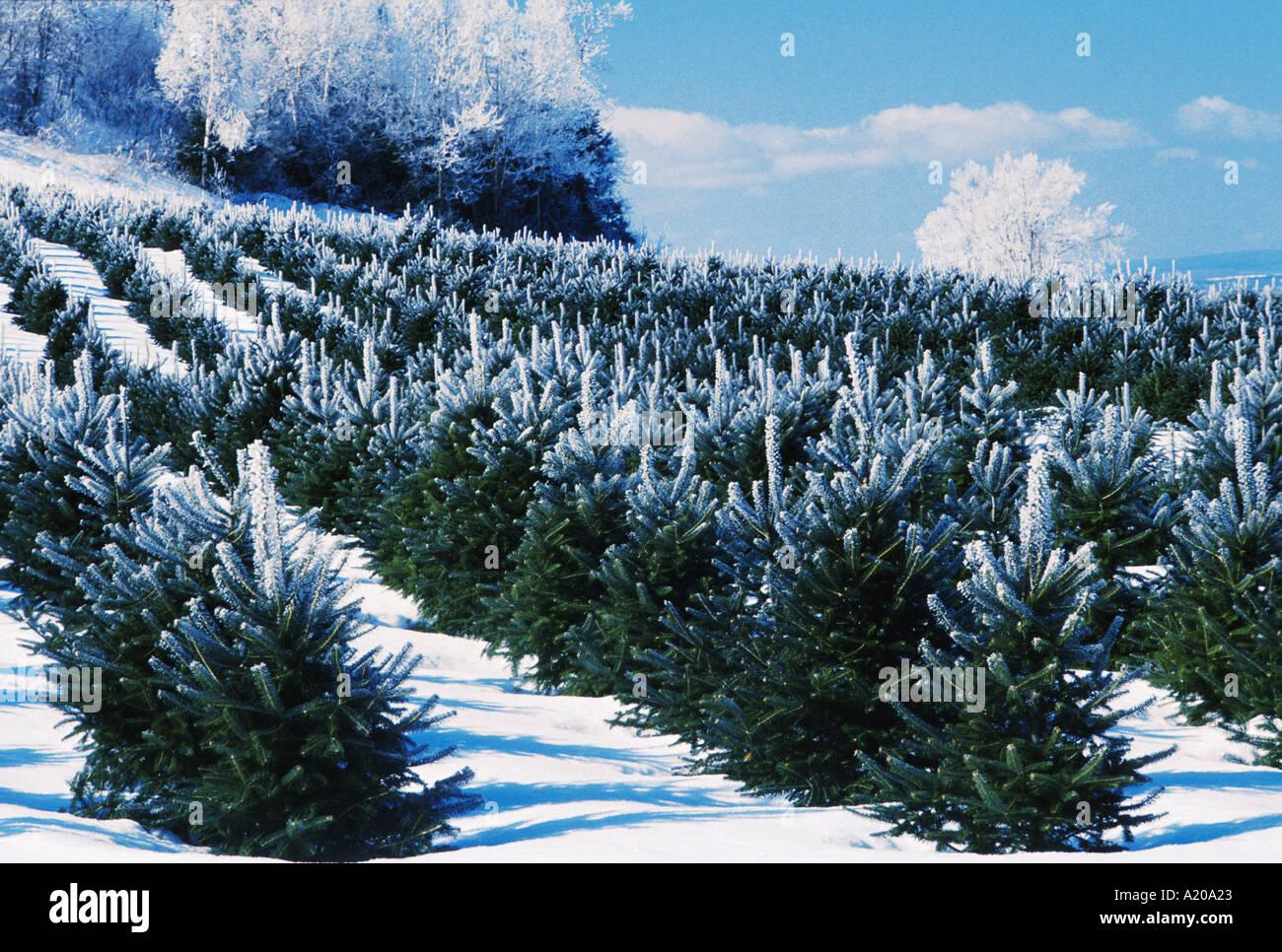 Christmas Tree Farm New Brunswick Canada Winter Scene With Frost On Stock Photo Alamy