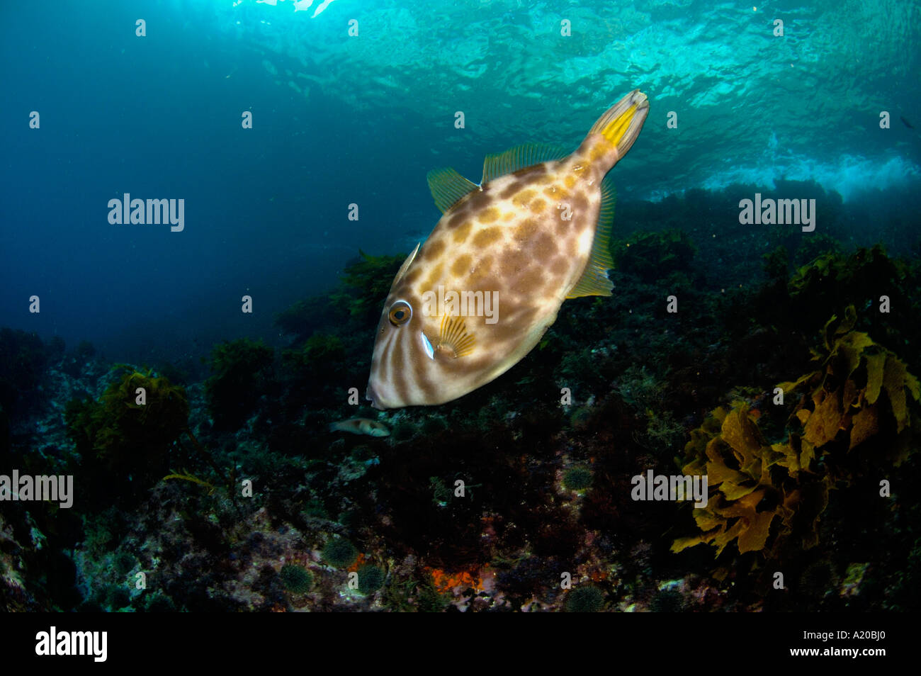 Leatherjacket Parika scaber trigger fish Poor Knights Islands New Zealand South Pacific Ocean Stock Photo