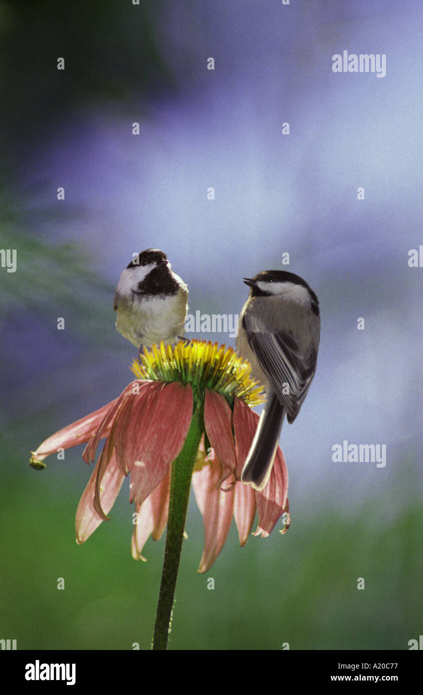 Two adorable chickadees birds side by side together on Coneflower looking for seeds, Missouri United States America USA - Stock Image