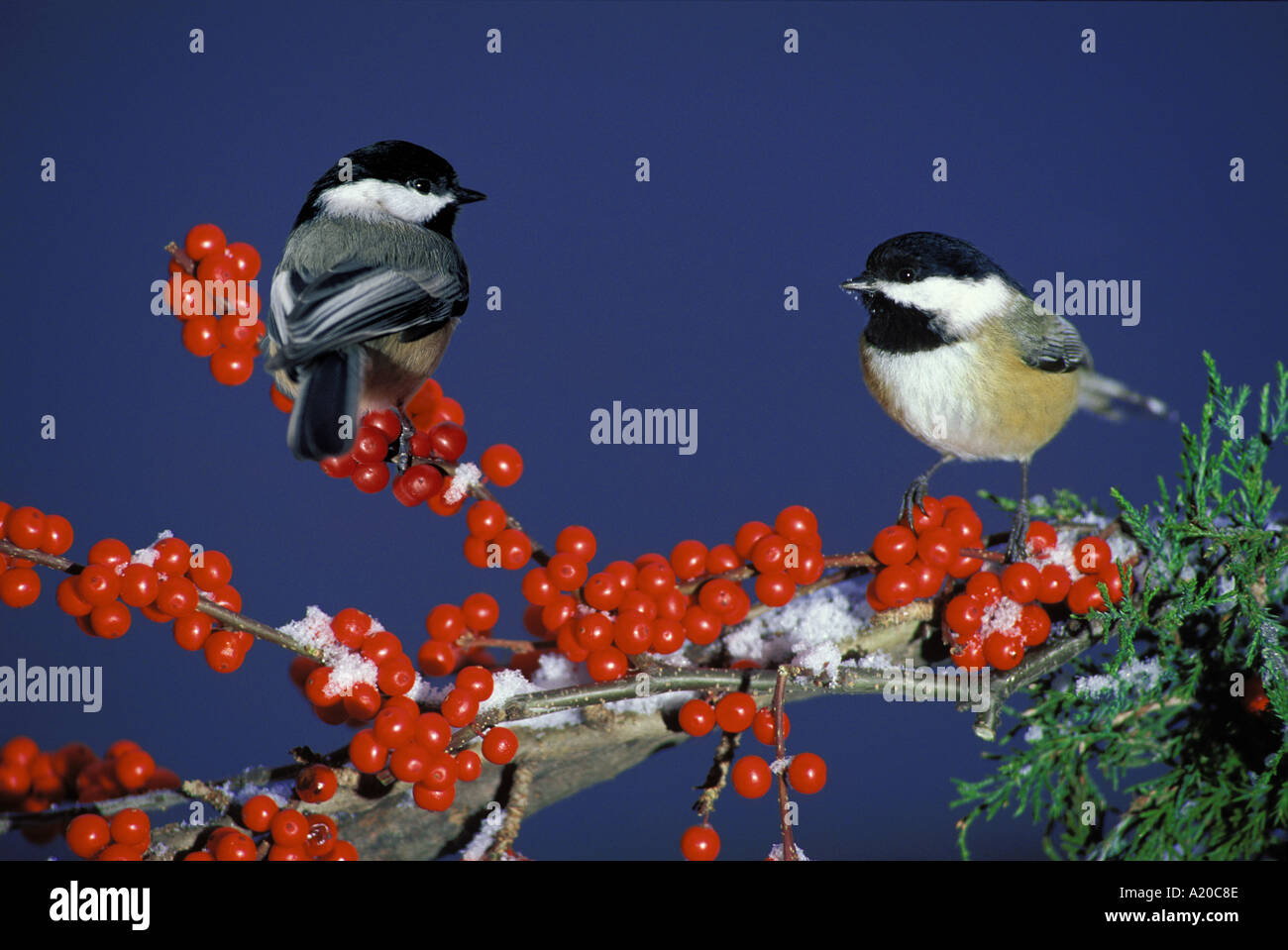 Two Black-capped Chickadees on holly branch with snow, Missouri United States America - Stock Image