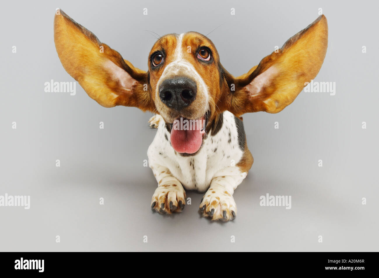 Basset hound, lying down, ears extended - Stock Image