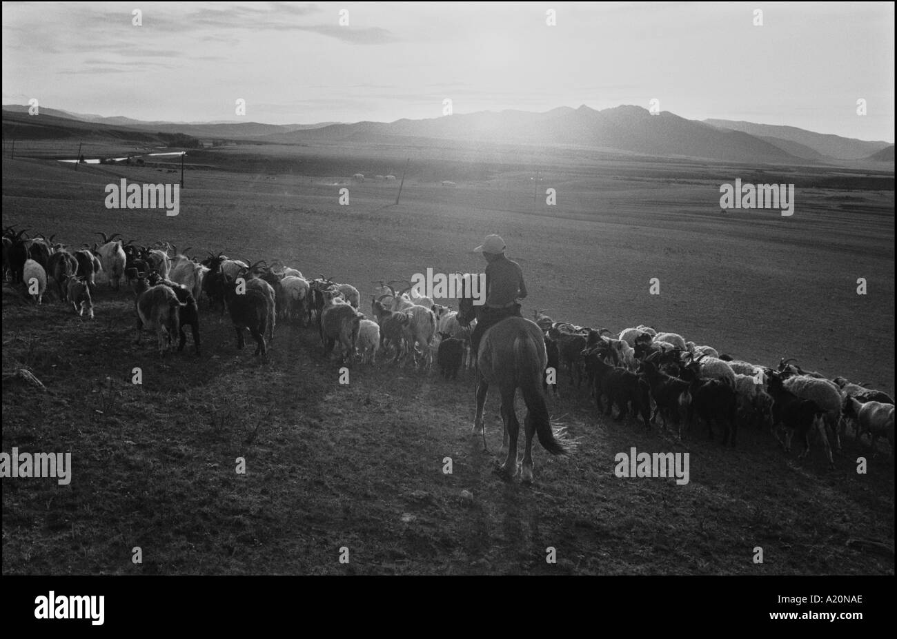 A young horseman on the steppes brings his goats back to the homestead at the end of the day, Mongolia - Stock Image