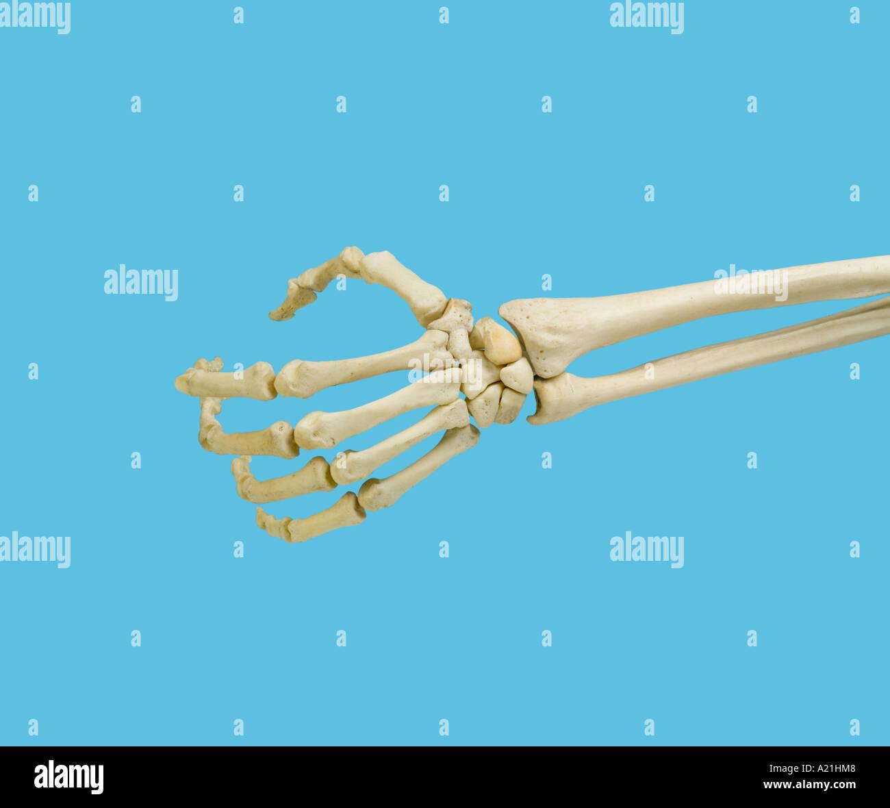 Human Skeleton Left Hand In Stock Photos Human Skeleton Left Hand