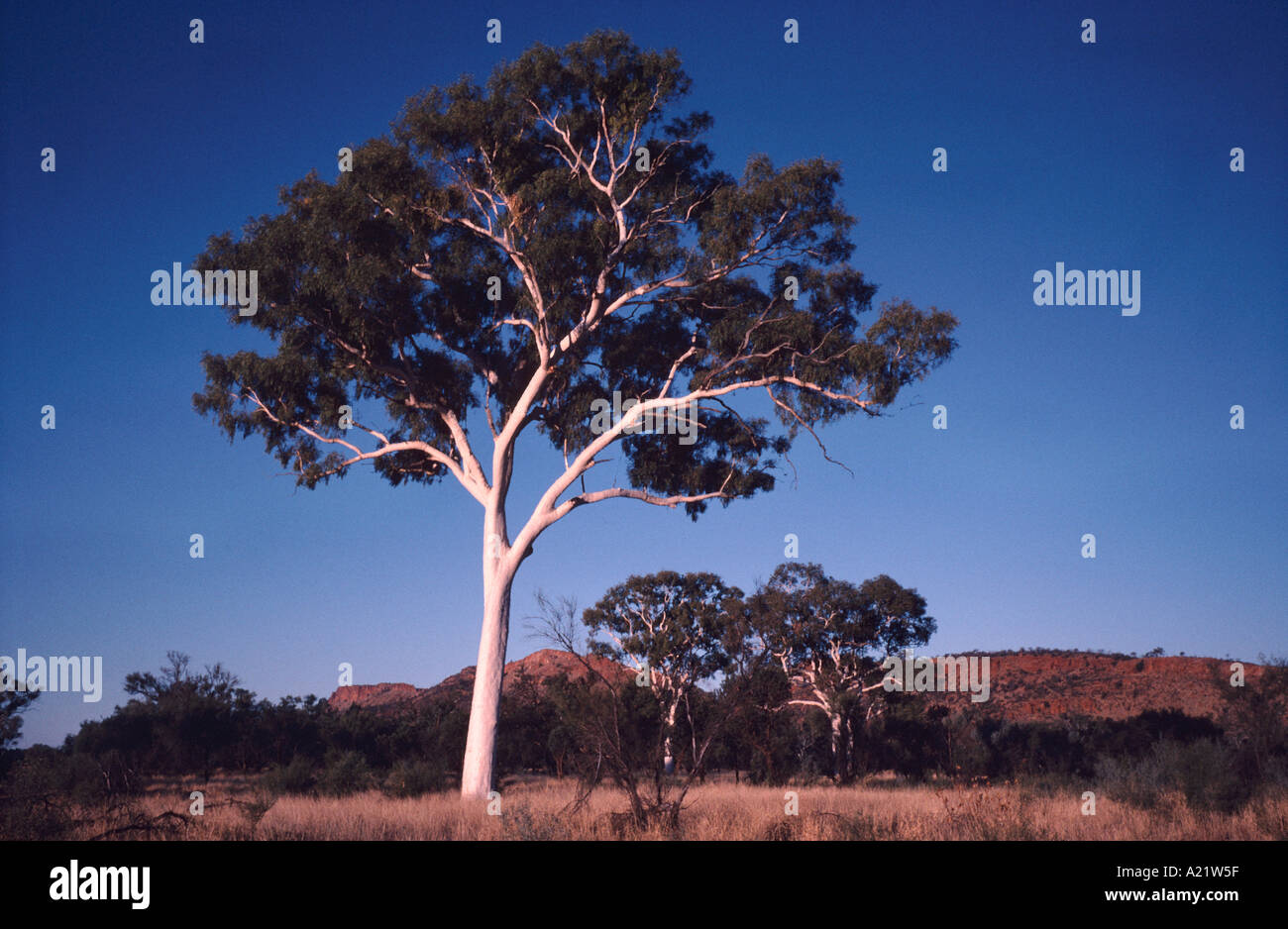 Ghost Gums in the MacDonnell Ranges near Alice Springs in Australia's Northern Territory - Stock Image