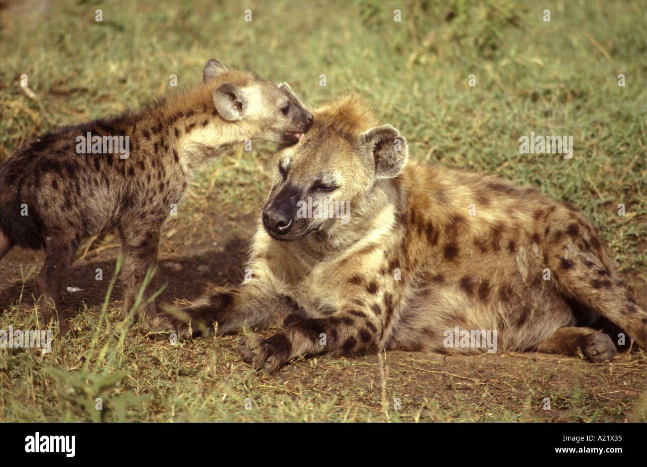Adult Spotted Hyena being groomed and greeted by an immature puppy Masai Mara National Reserve Kenya East Africa - Stock Image