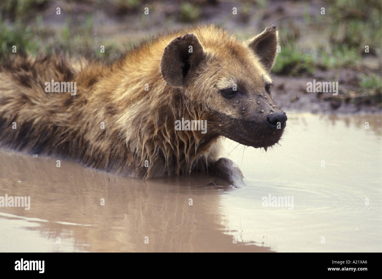 Adult Spotted Hyena wallowing in a pool of water to keep cool Serengeti National Park Tanzania East Africa - Stock Image