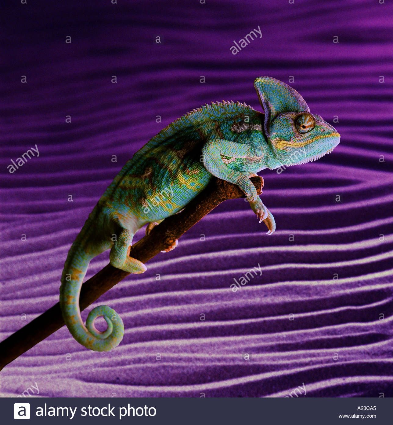 Chameleon perched on a stick - Stock Image