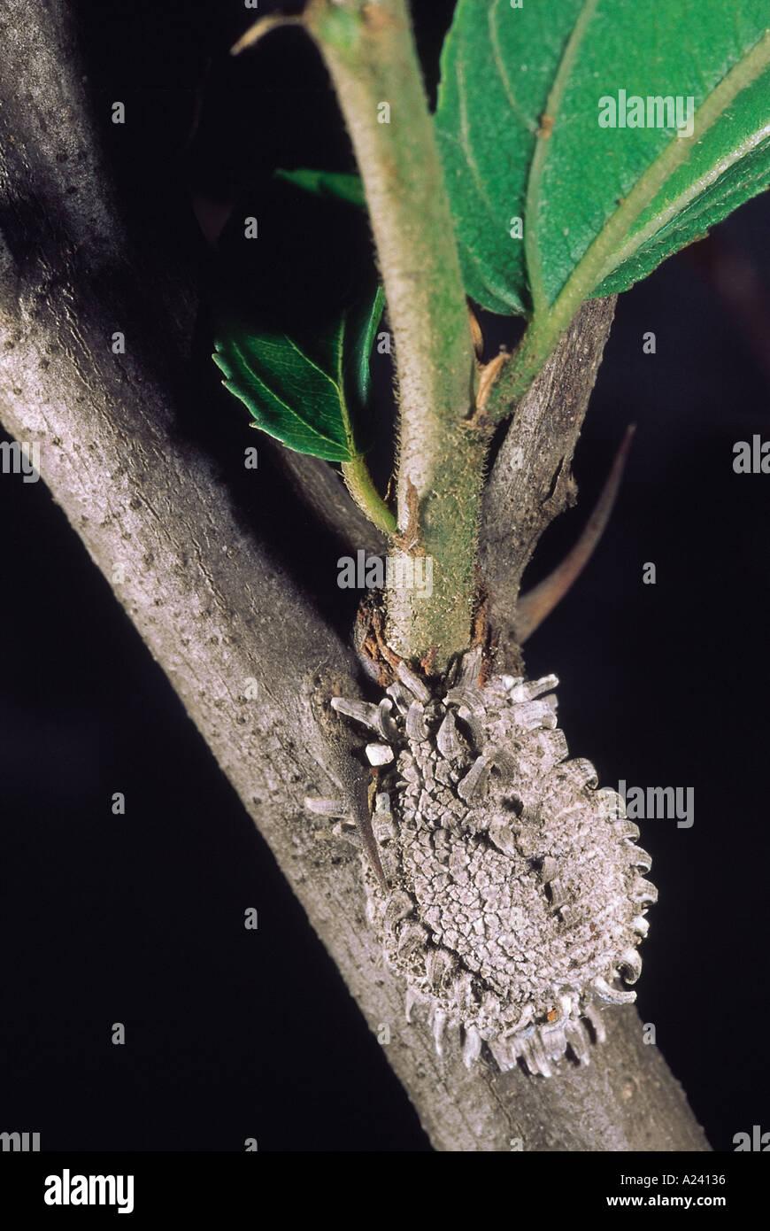 Scale insect Maharashtra India - Stock Image