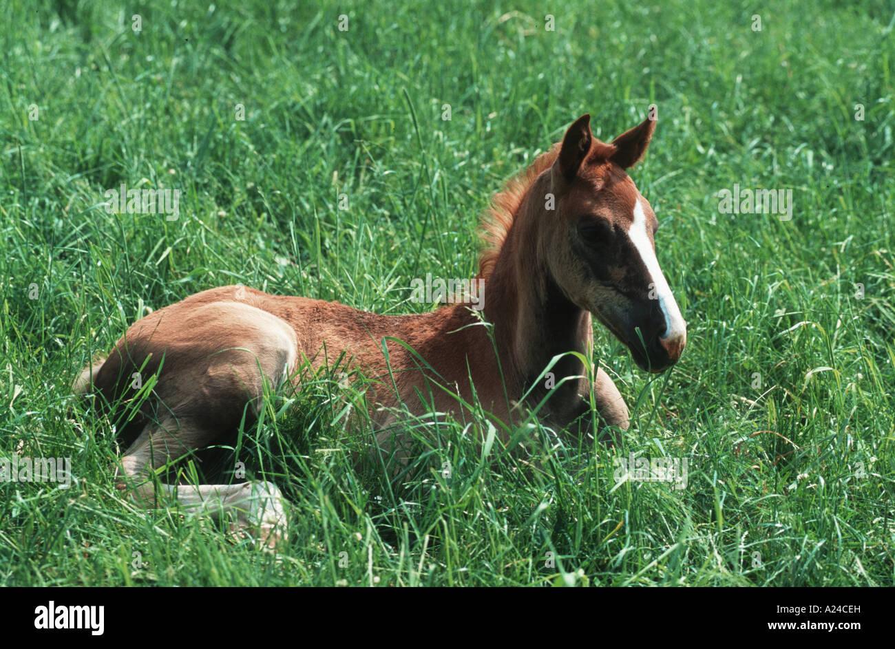 Warmblutpferd Warmblooded Horse - Stock Image