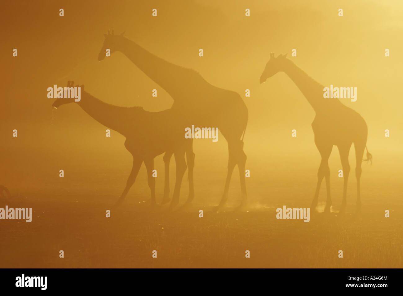 Giraffe trio drinkind at sunrise - Stock Image