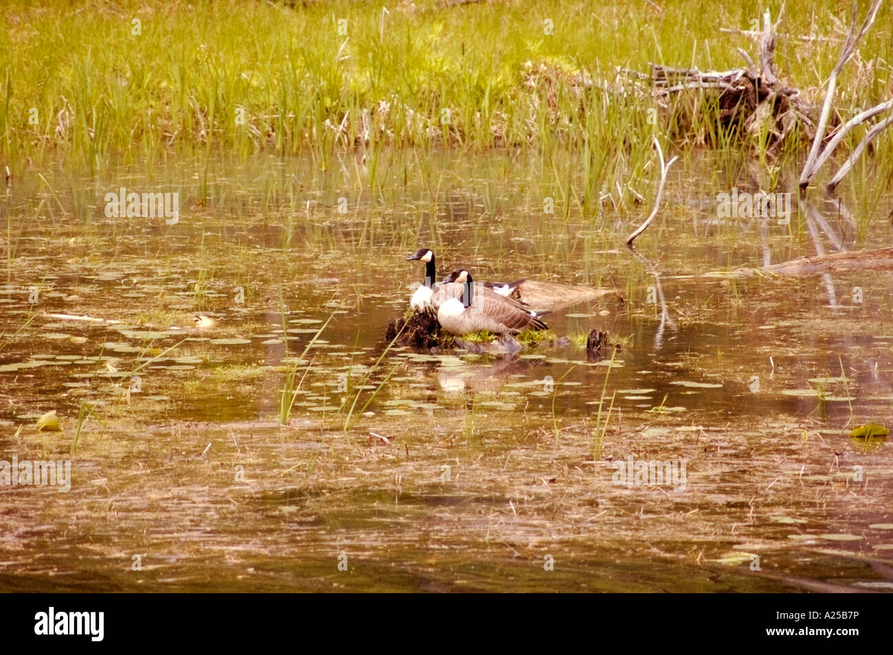 Old Au-sable Channel with 2 Canadian geese resting on a nest - Stock Image