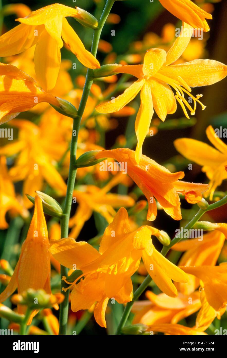 Crocosmia Golden Fleece - Stock Image