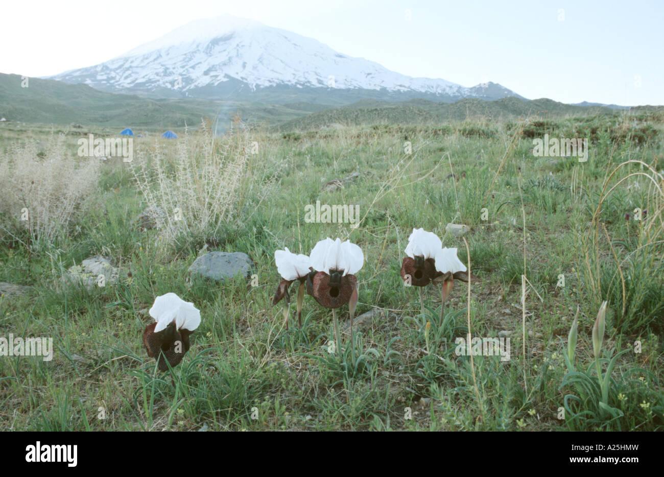 Oncocyclus bearded Iris (Iris iberica ssp. elegantissima), blooming in front of Ararat, Turkey, Turkey, East Anatolia, - Stock Image