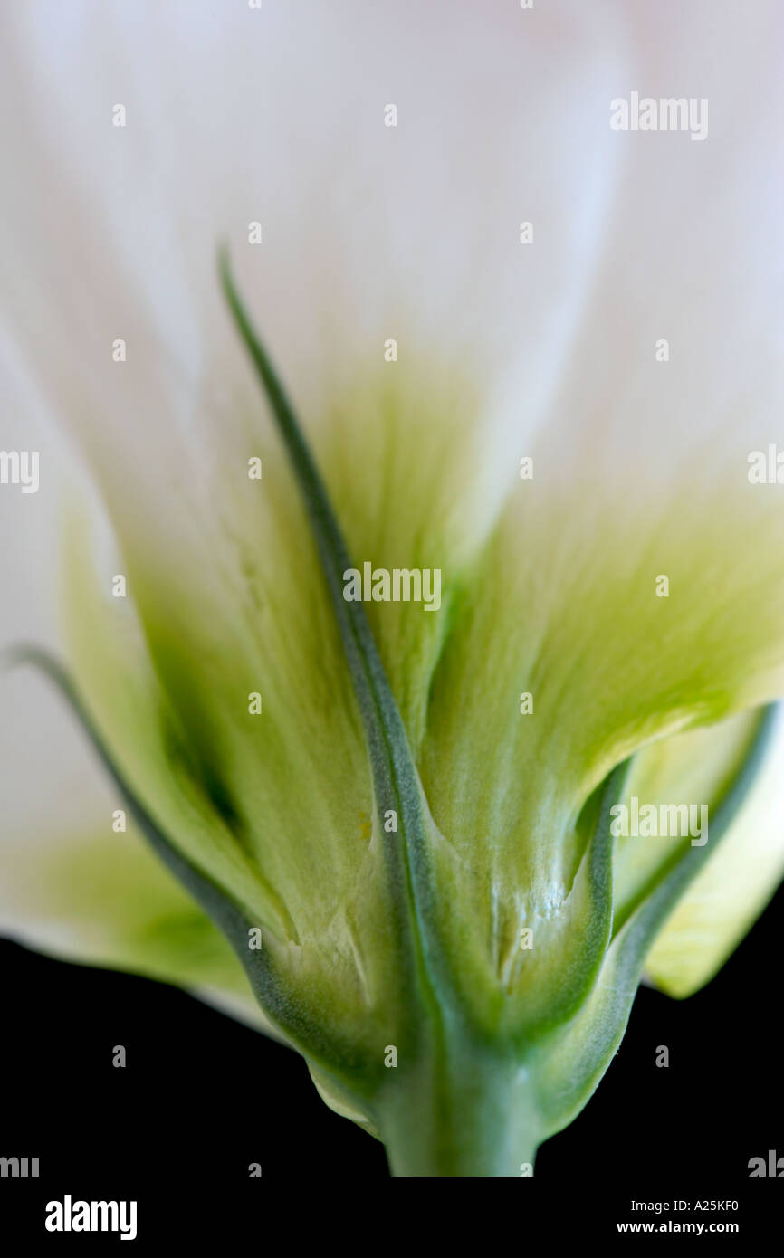 Close up of delicate white Lisianthus flower - Stock Image