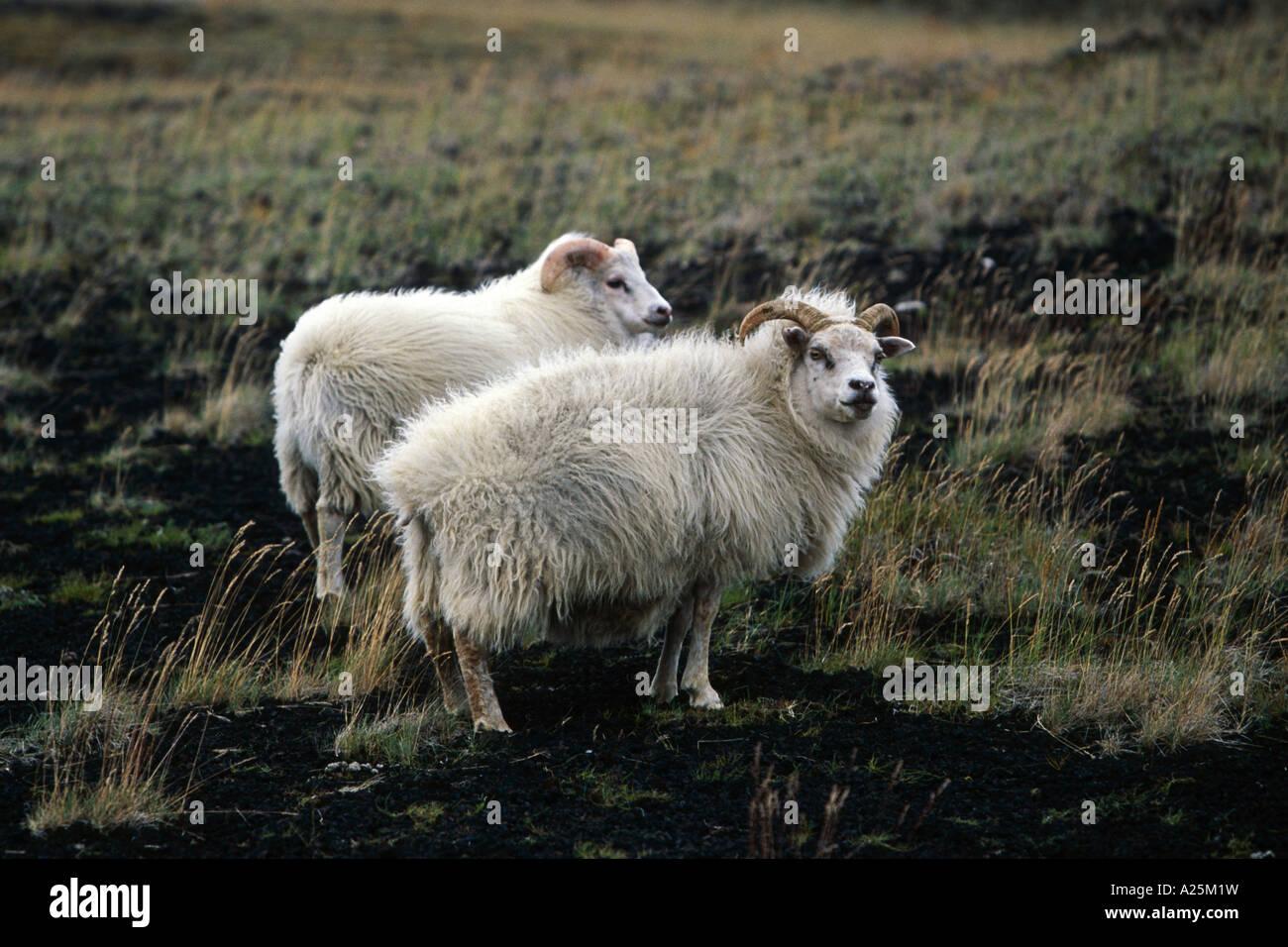 domestic sheep (Ovis ammon f. aries), on slope of volcano Hekla, Iceland - Stock Image