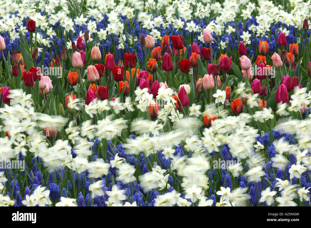 common garden tulip (Tulipa gesneriana), flowerbeds with garden tulips and daffodill, Narcissus pseudonarcissus Stock Photo