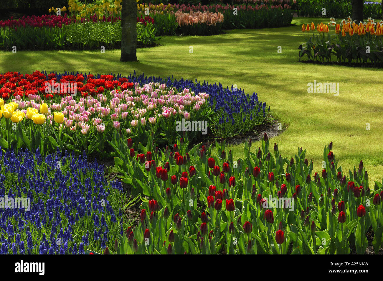 common garden tulip (Tulipa gesneriana), park with flowerbeds with different coloured tulips and grape hyacinths, Stock Photo