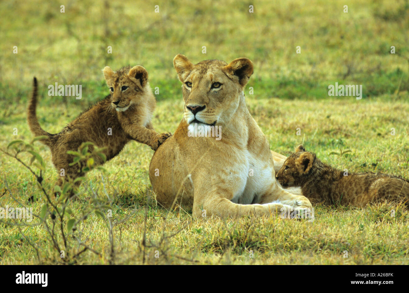 Lion Standing Hind Legs Stock Photos Amp Lion Standing Hind