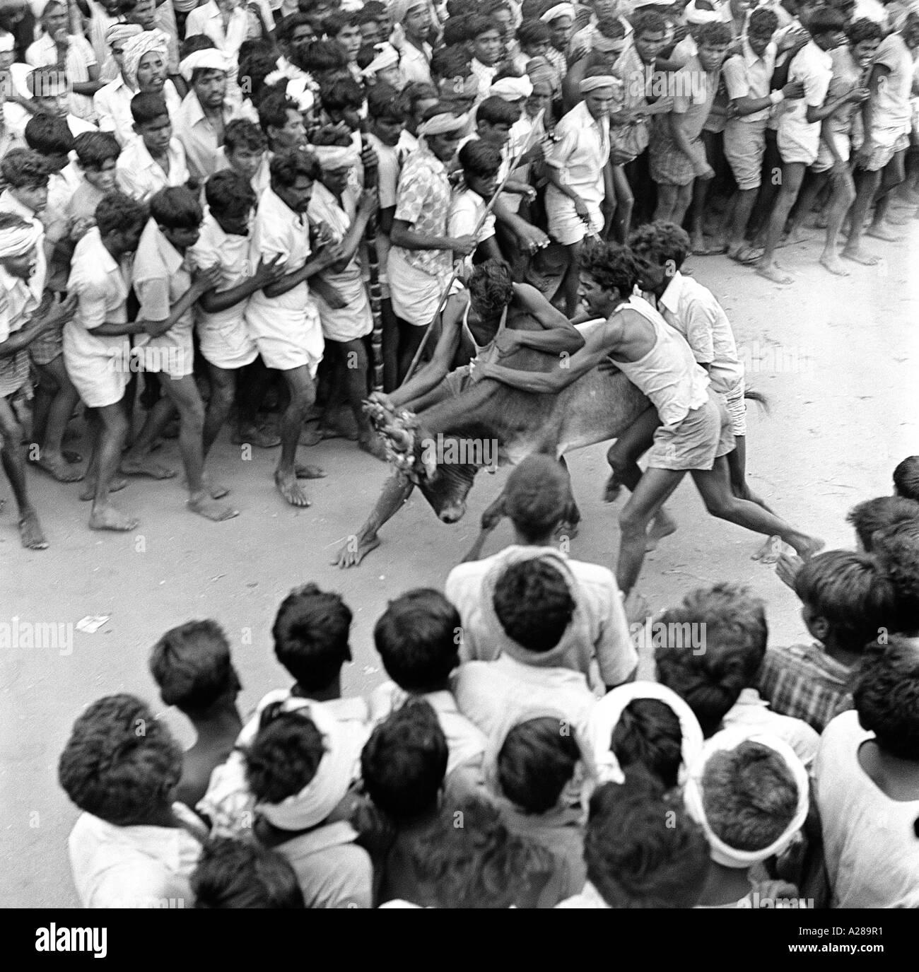 MAA76643 Jallikattu Bull Taming Madurai Tamilnadu India - Stock Image