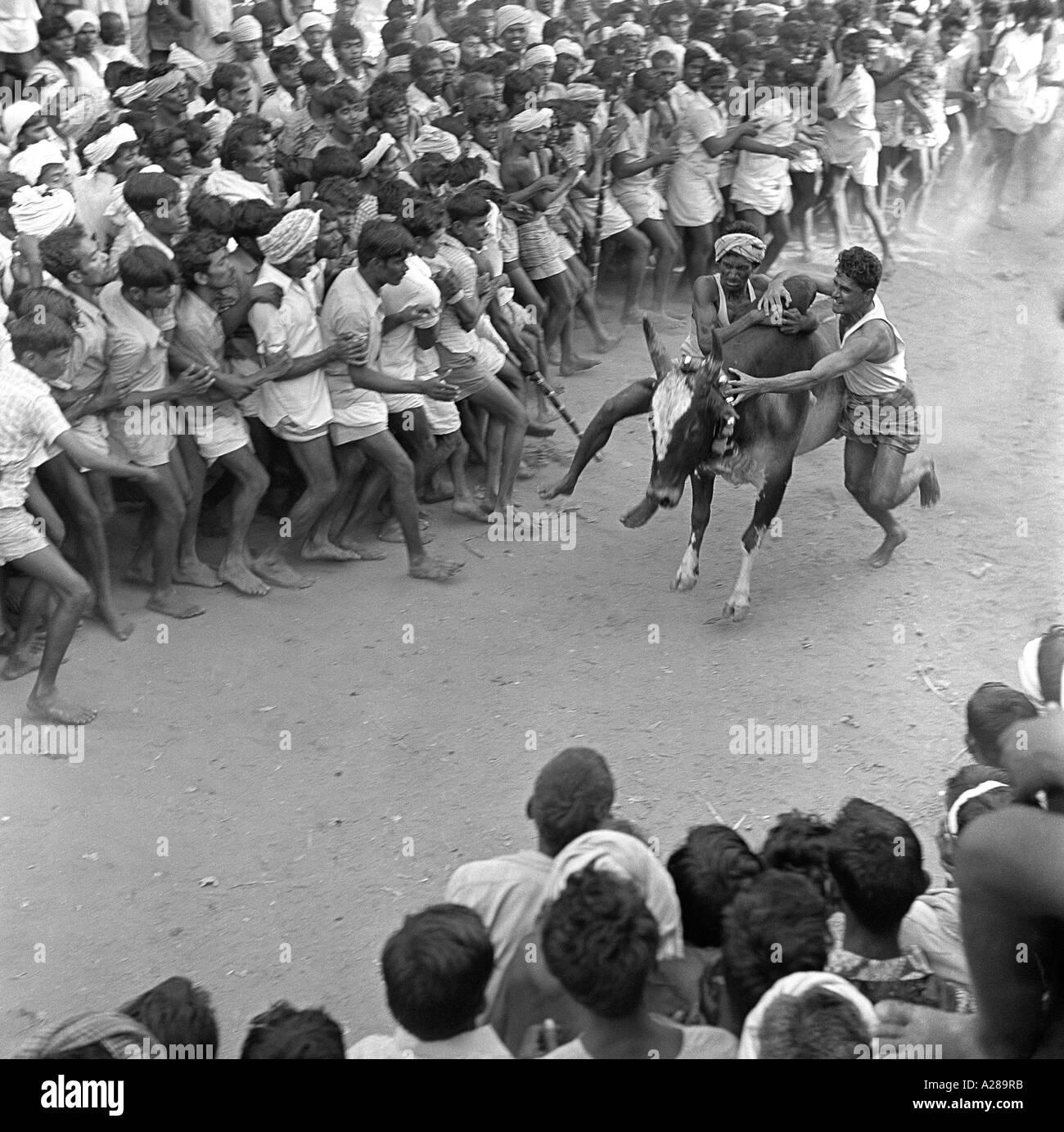 Jallikattu Bull Taming Madurai Tamilnadu India - Stock Image