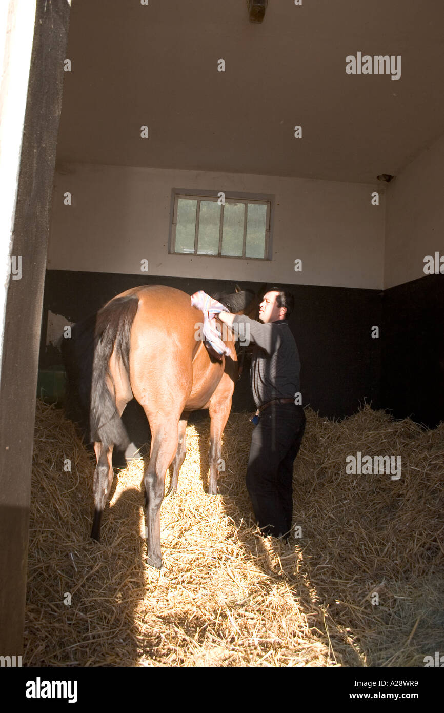Race horse being groomed in stable of Galop France Chantilly Oise