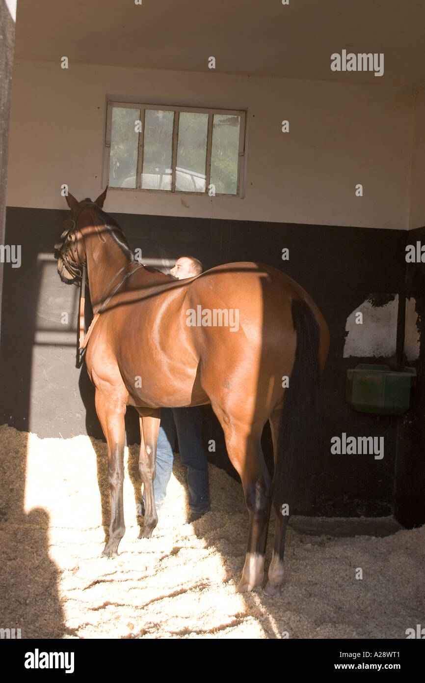 Race horse being groomed in stable of Galop France Chantilly