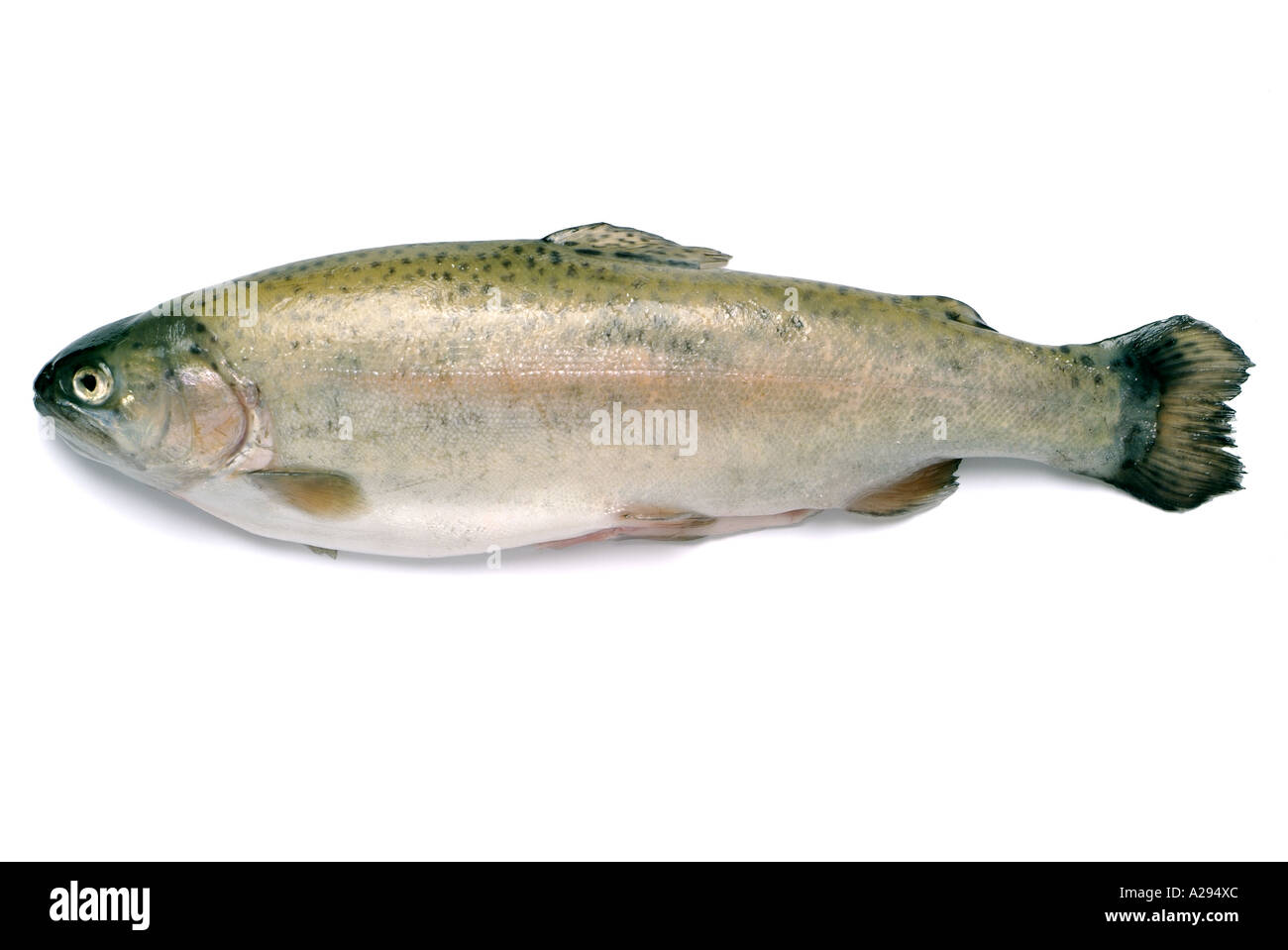 Californian Trout - Stock Image
