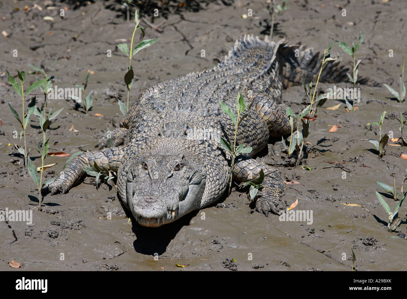 Estuarine Crocodile - Stock Image