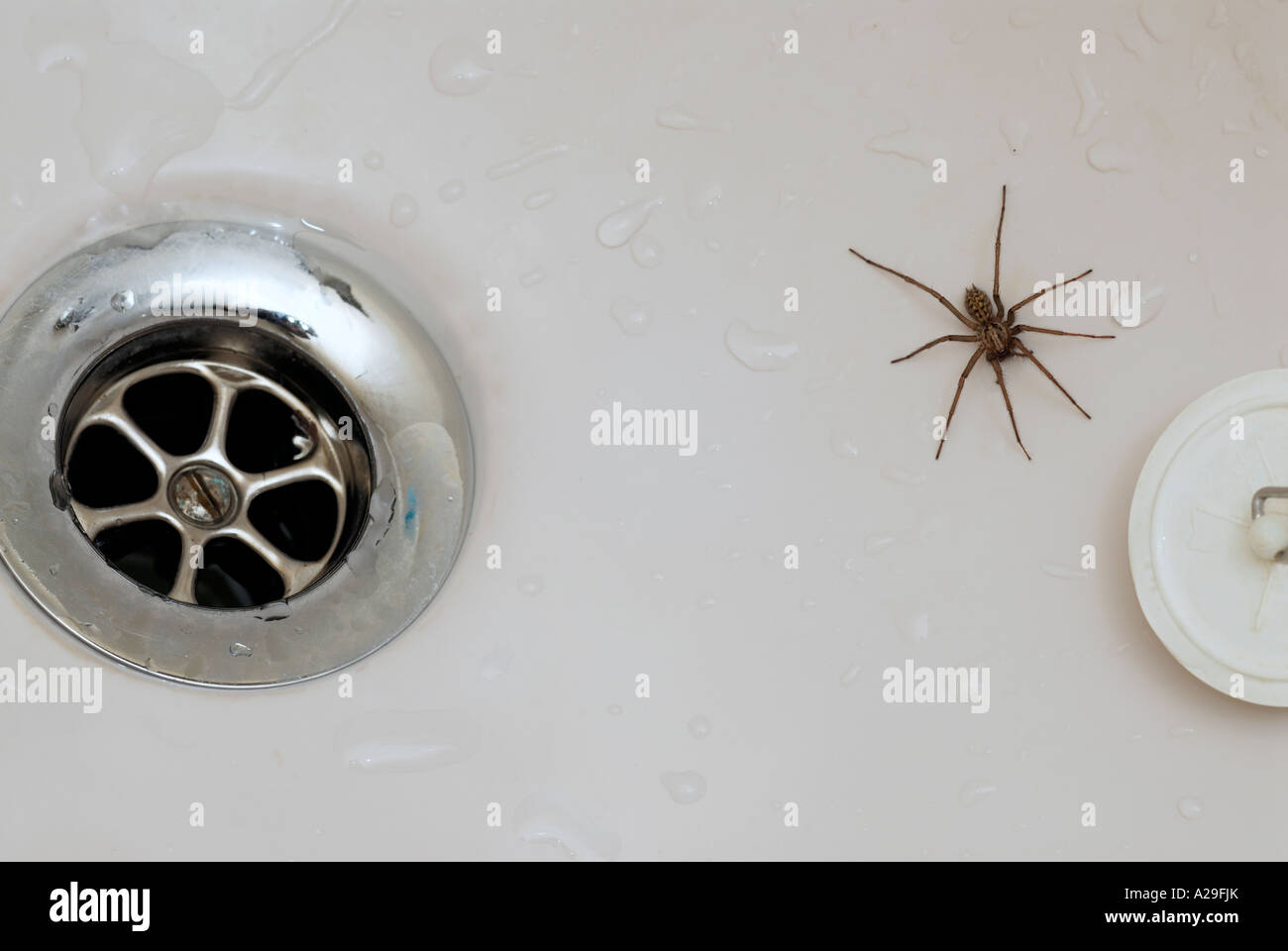 Male house spider trapped in a bath showing drain and plug Stock ...