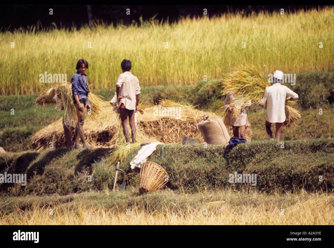 men boy rice field Nepal Asia candid unposed winnowing grain on mat harvest agriculture rural portrait work basket - Stock Image