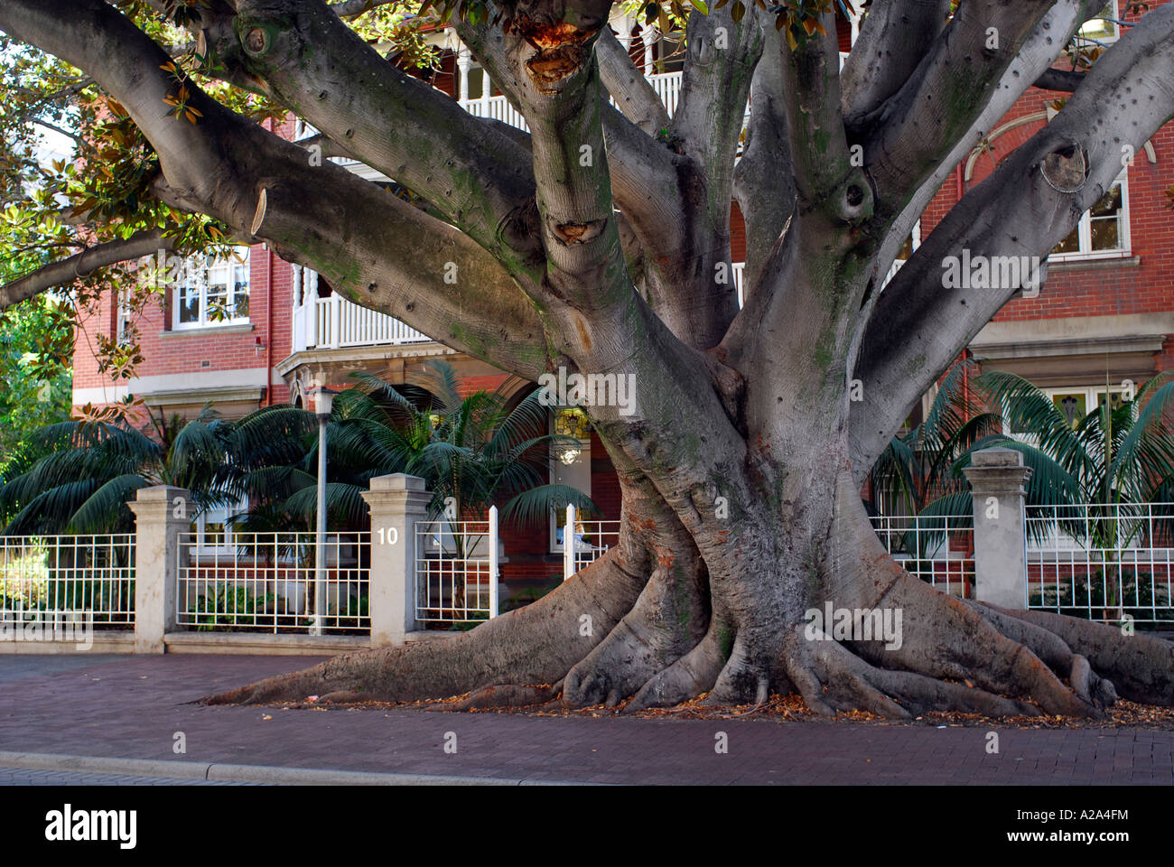 Huge Moreton Bay Fig tree, registered with and protected by the National Trust, growing in street. Perth, Western - Stock Image