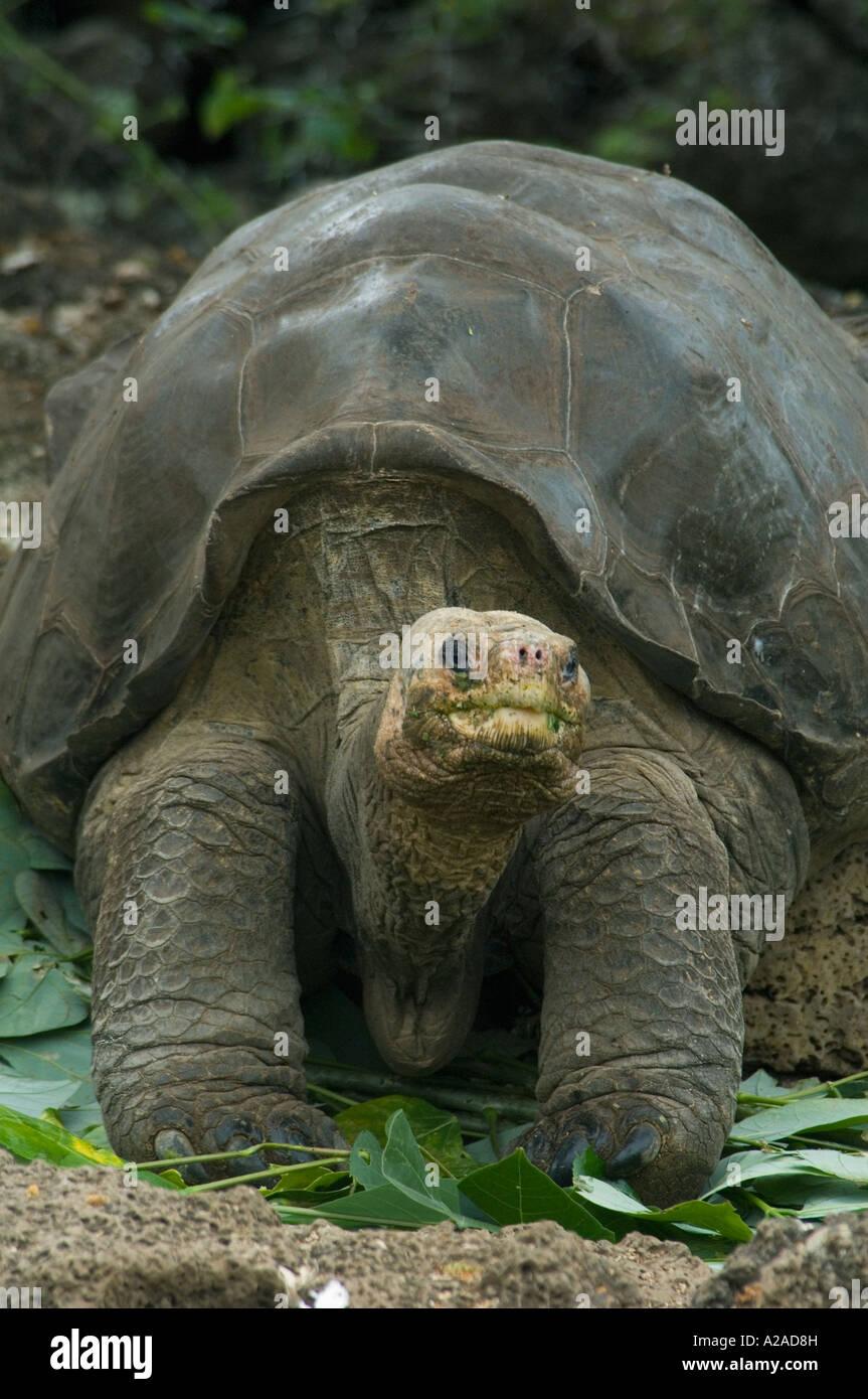 Galapagos Giant Tortoise (Geochelone nigra abingdoni) 'Lonesome George' last from Pinta Island,  Galapagos - Stock Image