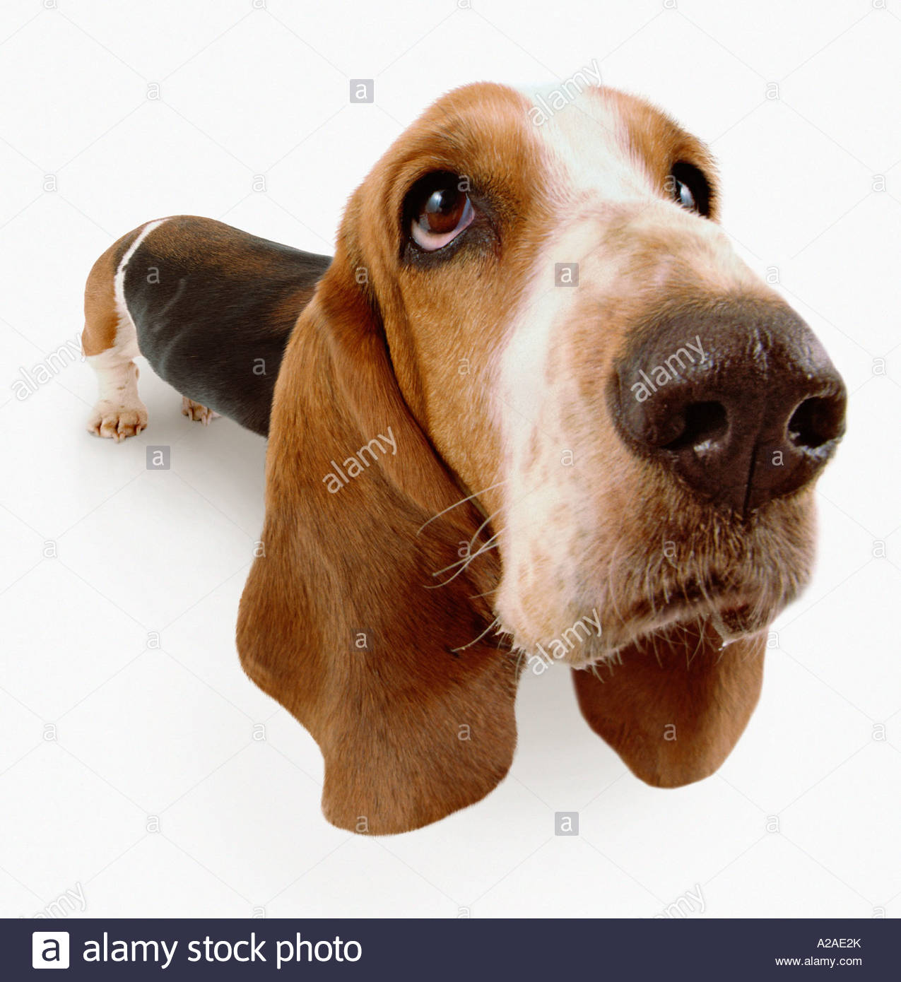 Wide-angle close up a Basset Hound looking mournful. White background. - Stock Image