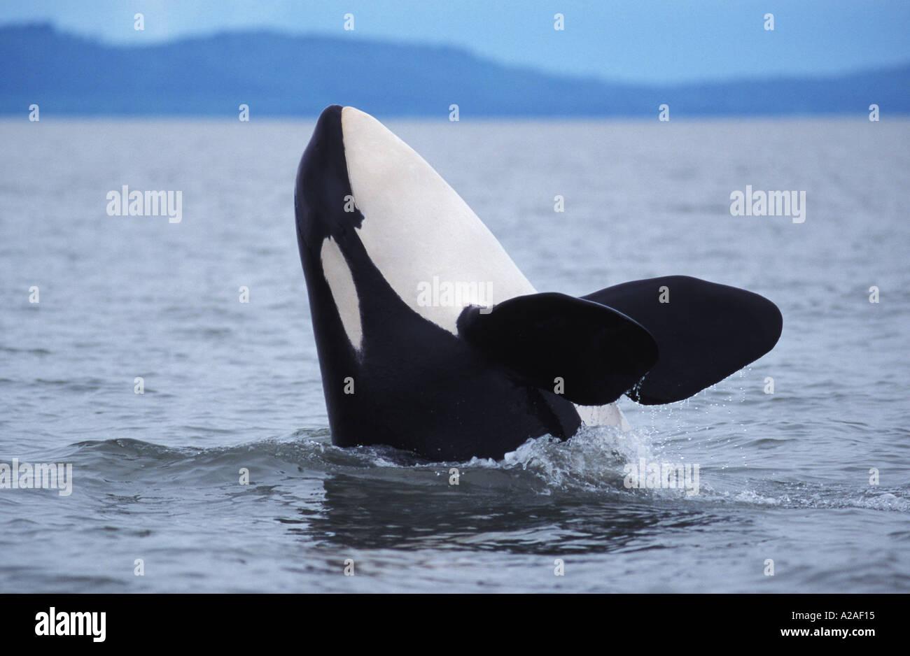 ORCA WHALE KILLER WHALE Orcinus orca BRITISH COLUMBIA CANADA PACIFIC OCEAN. Photo Copyright Brandon Cole Stock Photo
