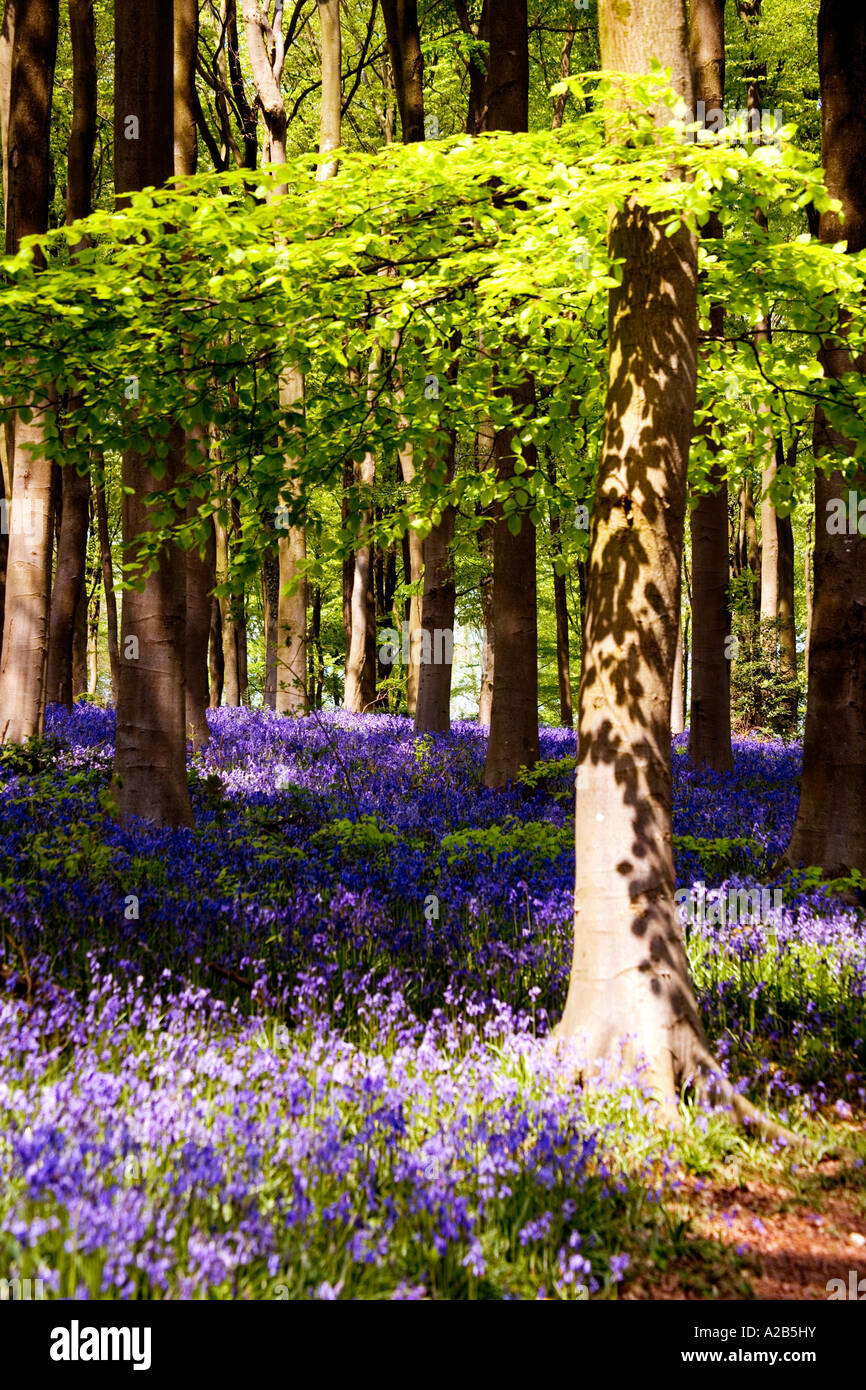 Bluebells, Hyacinthoides non-scripta,  in the Spring at West Woods near Marlborough, Wiltshire, England, UK Stock Photo