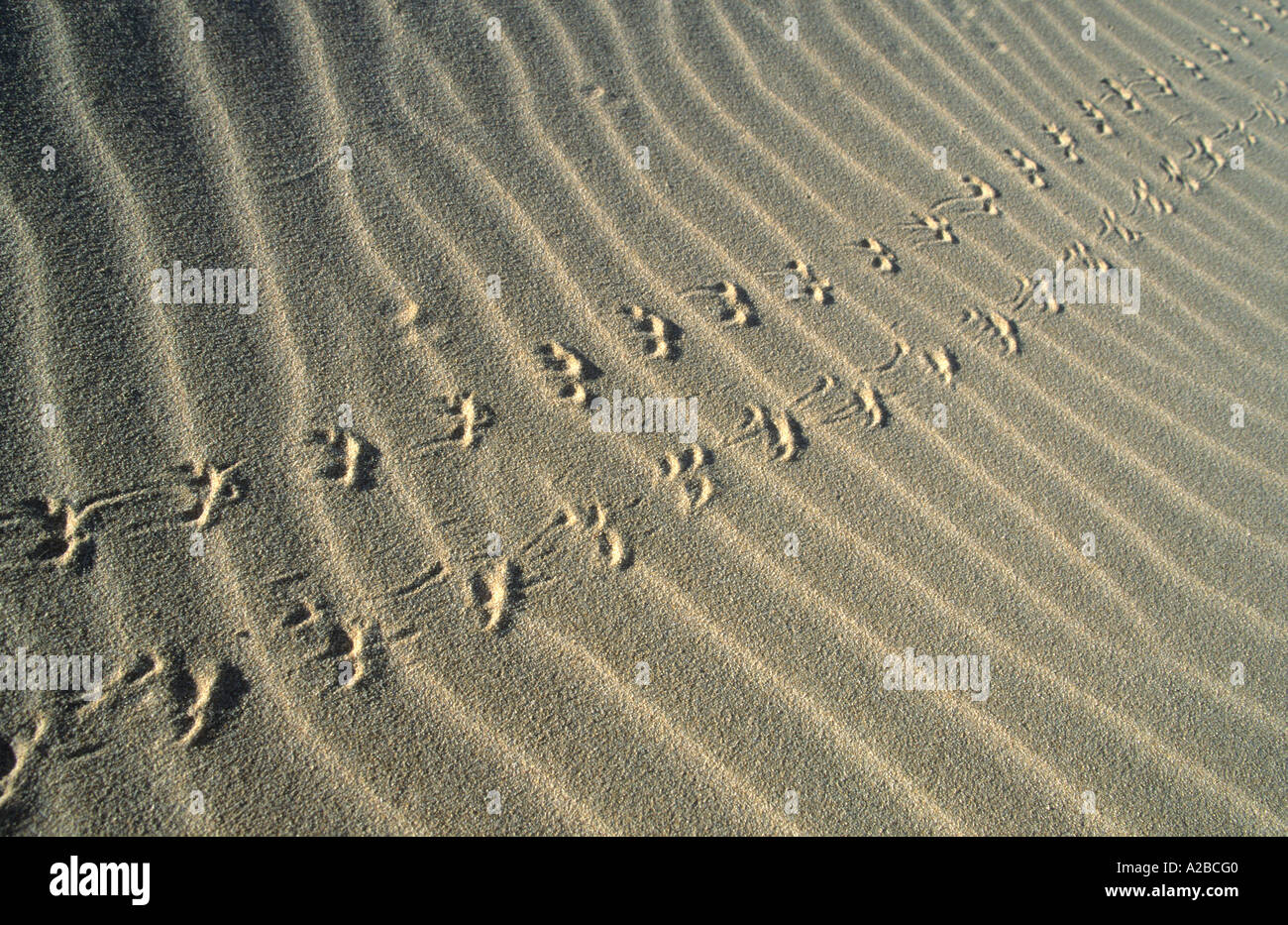 Animal tracks in the sand Stock Photo