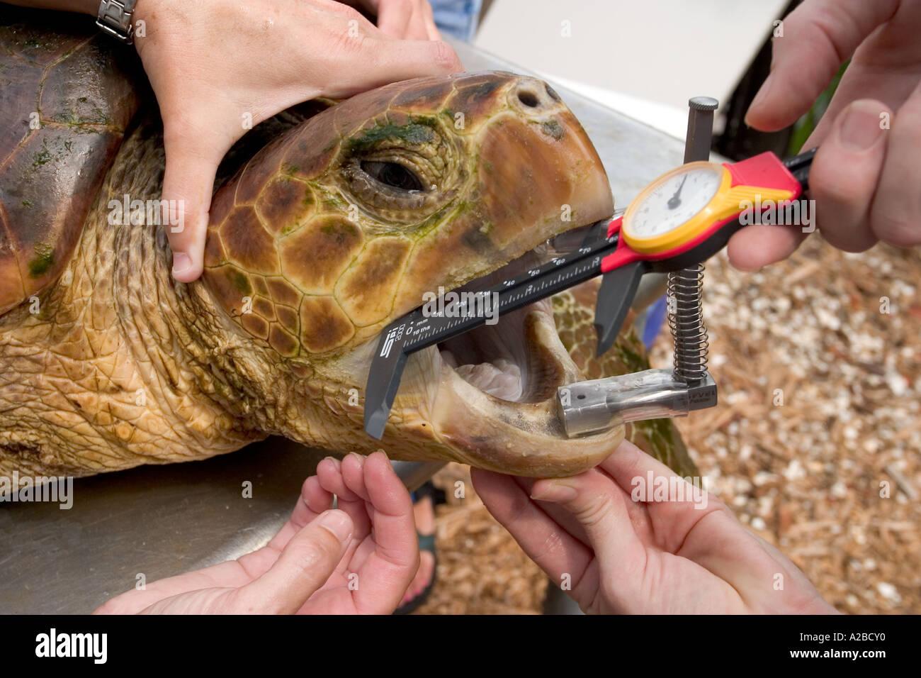 Removing longline fish hook from loggerhead sea turtle (Caretta caretta) using canine mouth gag. - Stock Image