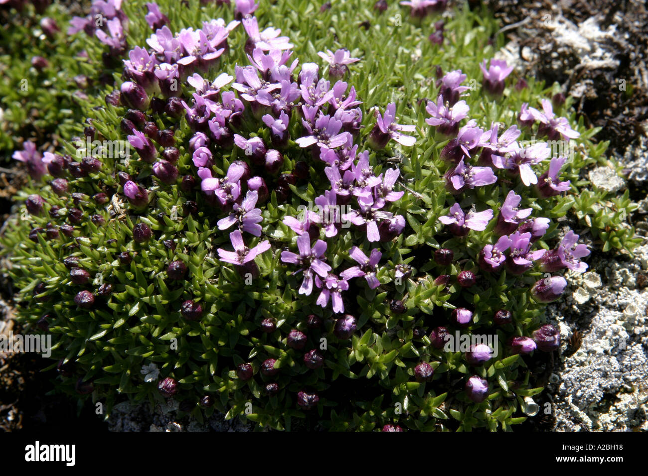 wildflower mountain Moss campion Sound Baffin Island Nunavut - Stock Image