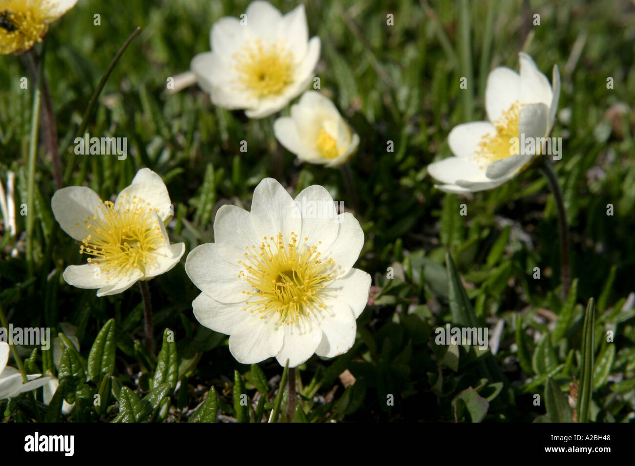 wildflower mountain Aven York Sound Baffin Island Nunavut - Stock Image