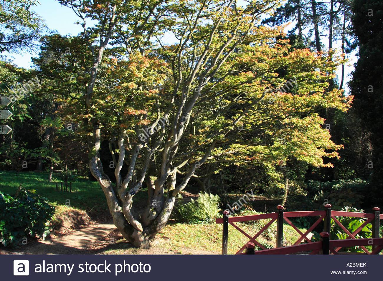 Acer Palmatum Shishigashira Japanese Maple Photograph Showing A Tree