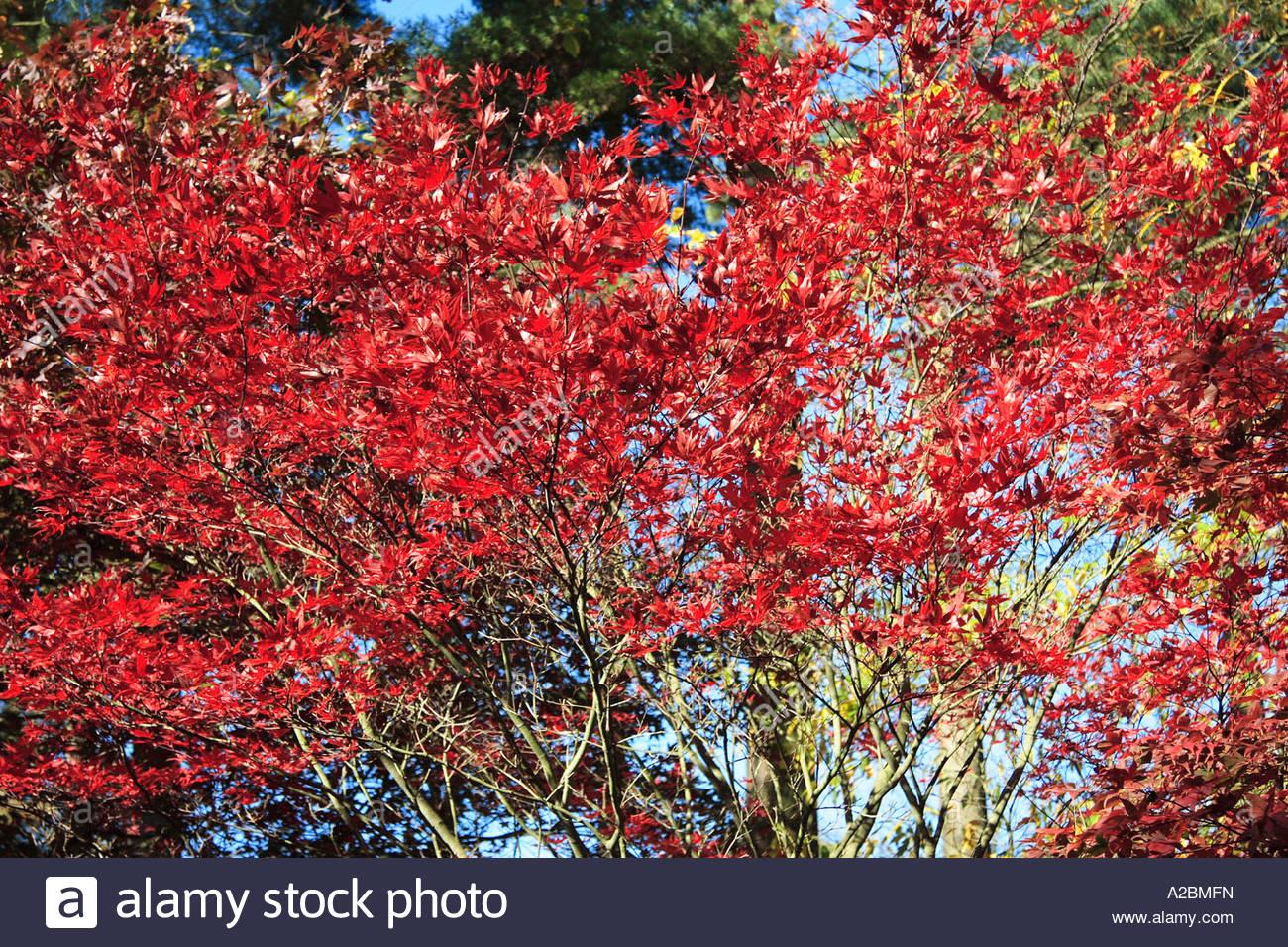 Acer Palmatum Shojo Japanese Maple Photograph Showing Tree Dressed