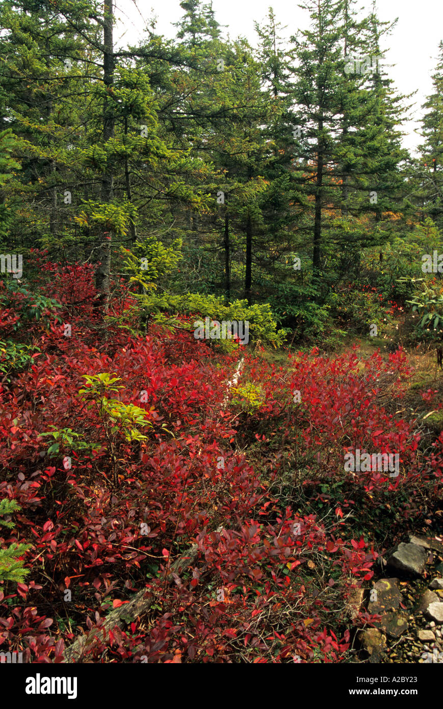 Autumn Dolly Sods Wilderness Monongahela NF WV - Stock Image