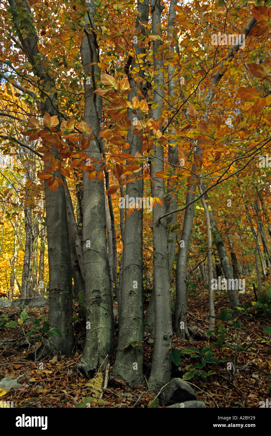 Beech Trees Autumn Dolly Sods Wilderness Monongahela NF WV - Stock Image
