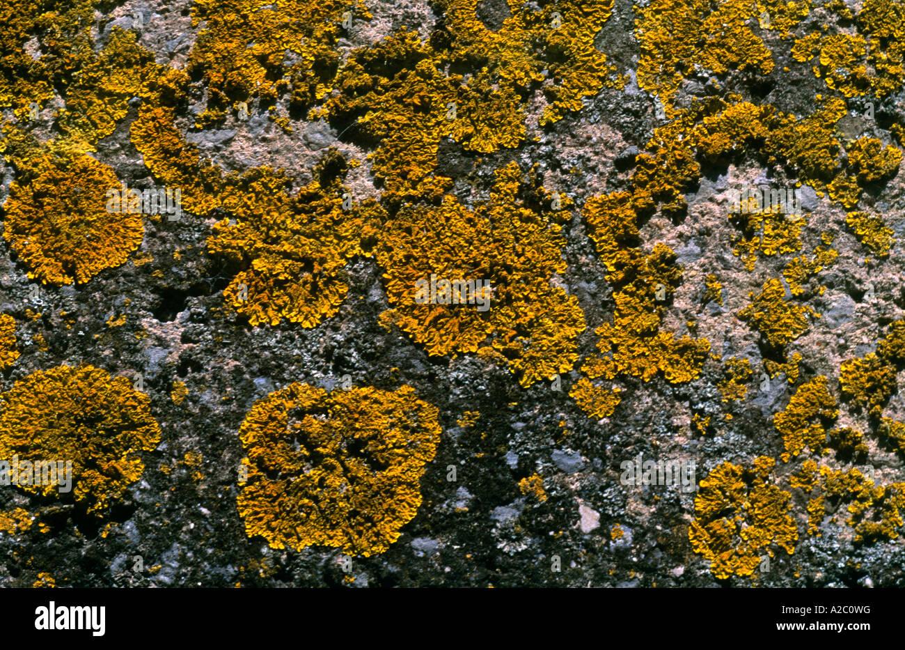 Yellow Lichen On Rock - Stock Image