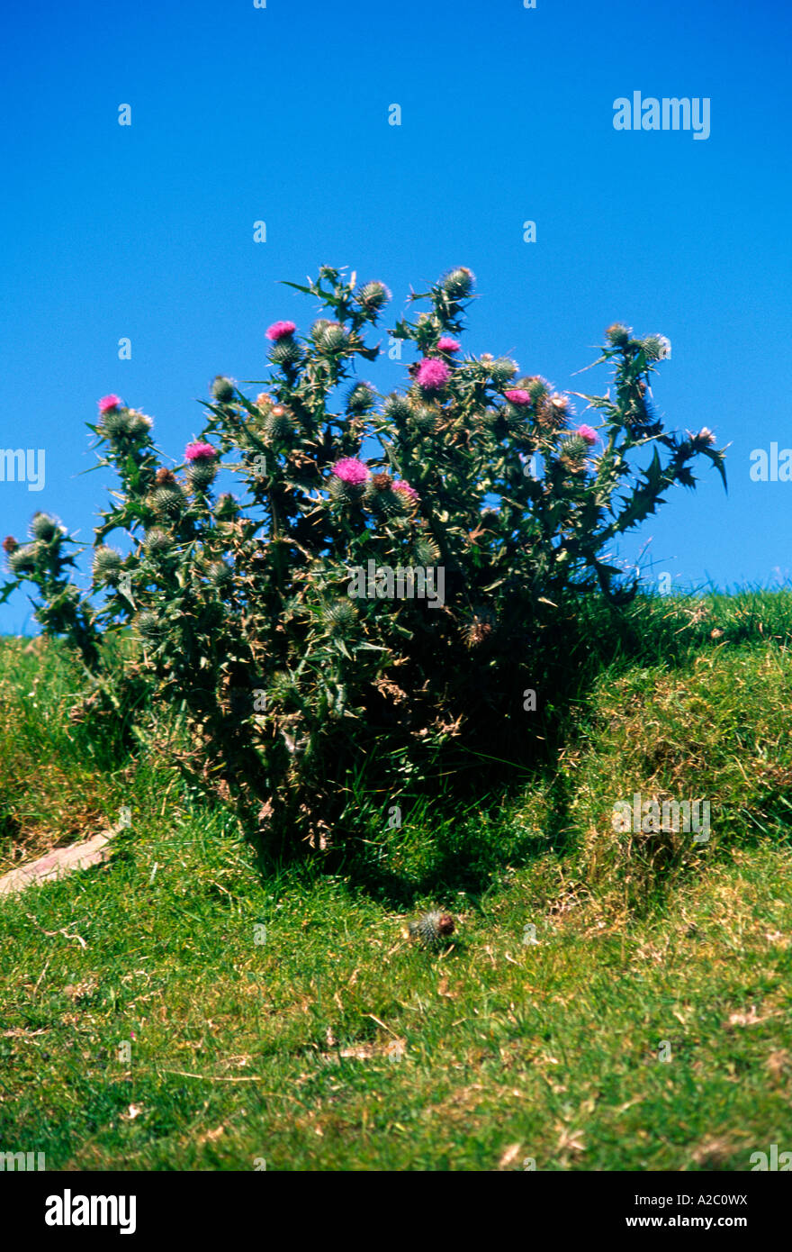 Somerset England Exmoor Spear Thistle - Stock Image