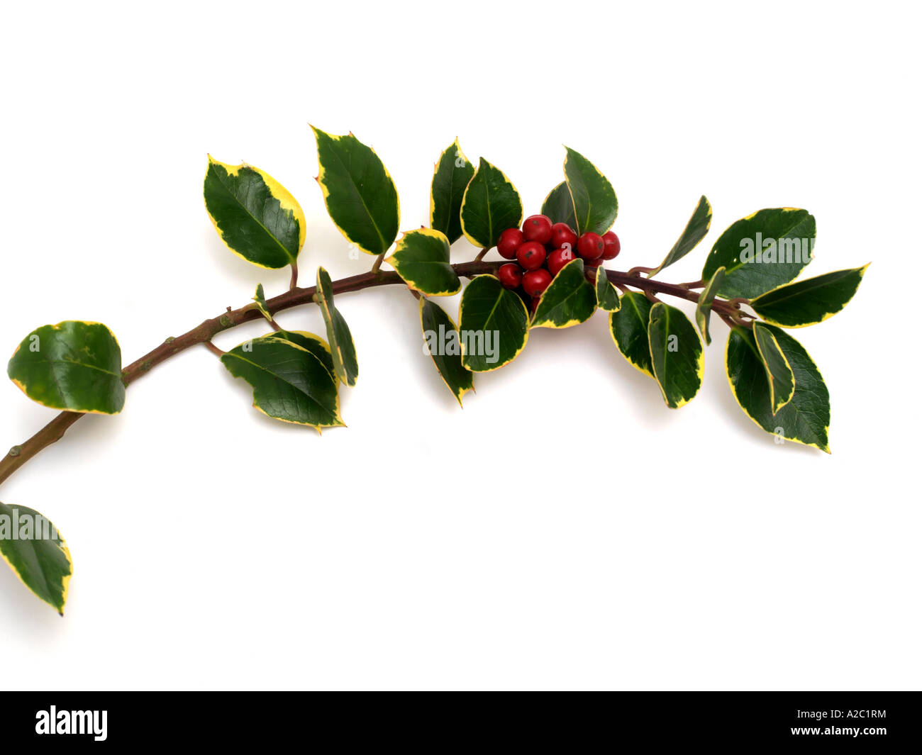 Varigated Holly - Stock Image
