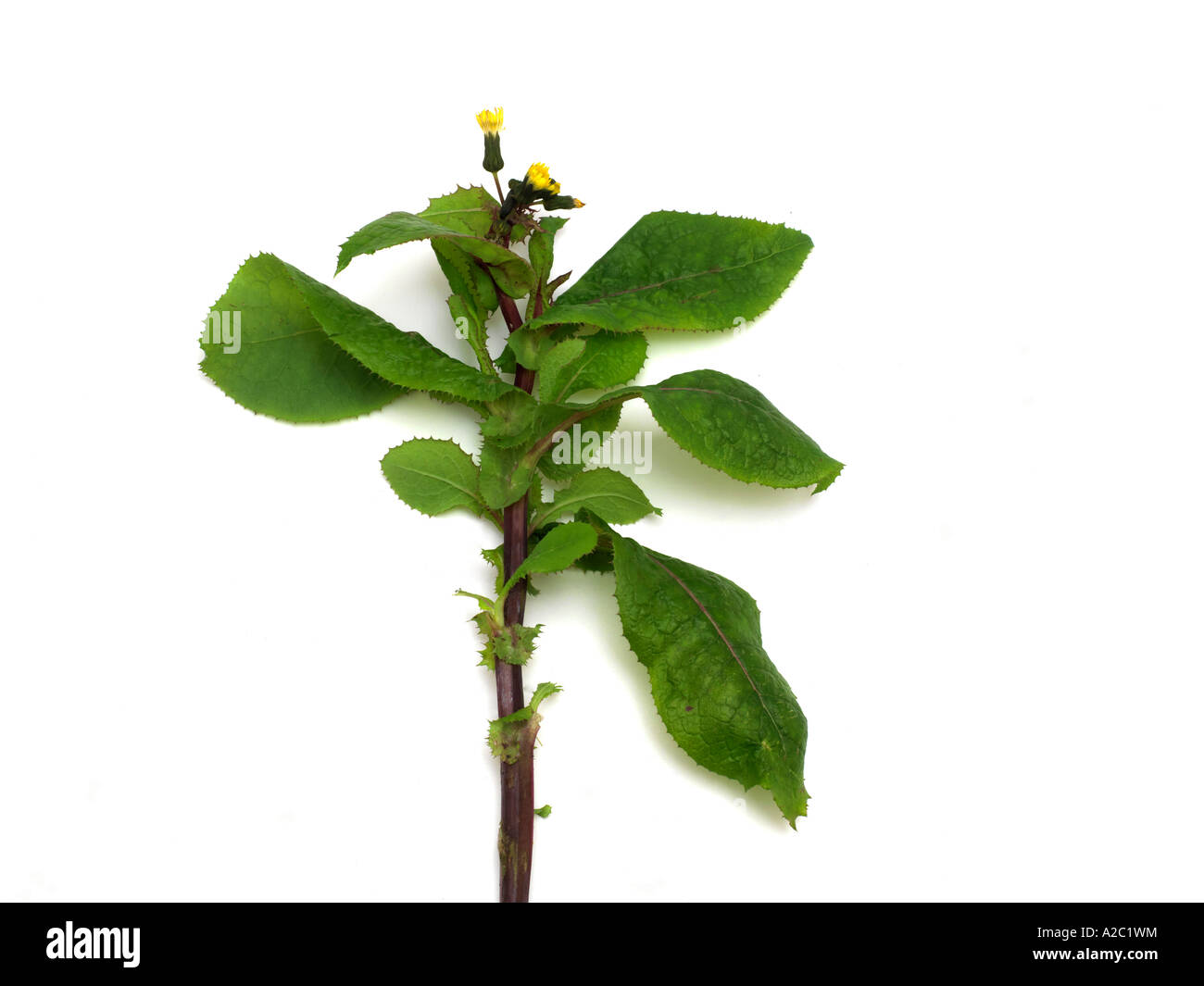 Sow Thistle - Stock Image